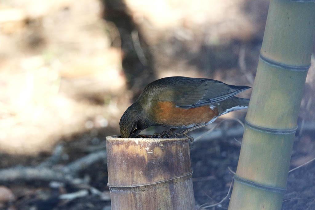 竹藪の鳥/ルリビタキ/ジョウビタキ/シロハラ/オオアカハラ_b0024798_09031309.jpg