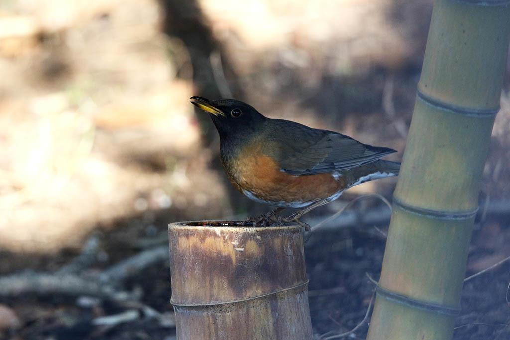 竹藪の鳥/ルリビタキ/ジョウビタキ/シロハラ/オオアカハラ_b0024798_09033067.jpg