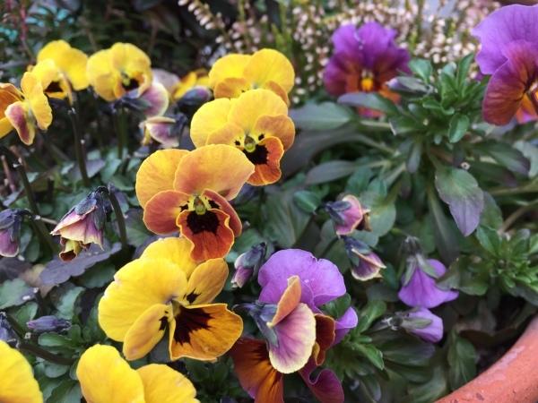 わが庭で毎年春に花を咲かせる植物たち_e0232798_07023253.jpg