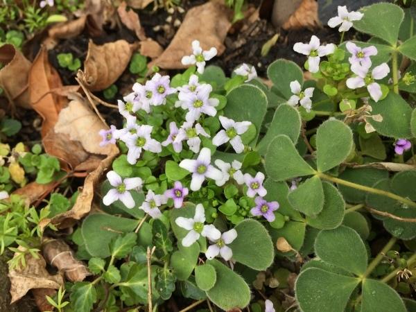 わが庭で毎年春に花を咲かせる植物たち_e0232798_07082942.jpg