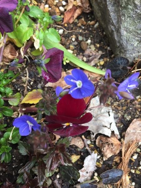 わが庭で毎年春に花を咲かせる植物たち パートⅡ_e0232798_07172490.jpg