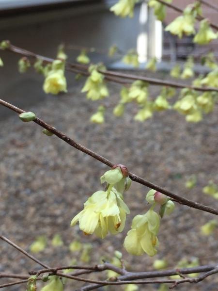 わが庭で毎年春に花を咲かせる植物たち パートⅡ_e0232798_11032514.jpg