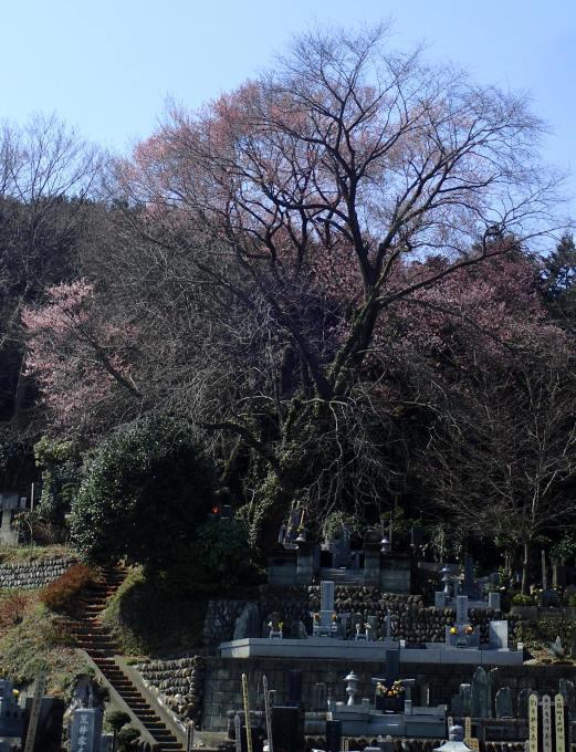 埼玉北部                              カタクリと蝶2017/03/28①_d0251807_15460771.jpg