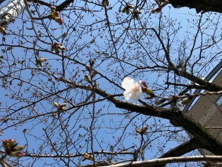 清張桜_b0214473_16385935.jpg