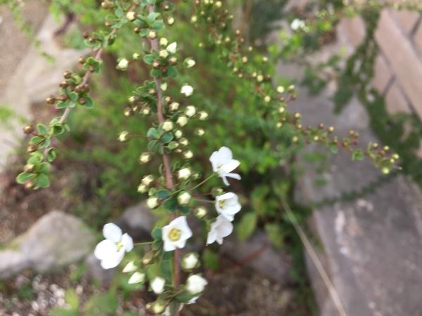 わが庭で毎年春に花を咲かせる植物たち パートⅡ_e0232798_05315428.jpg