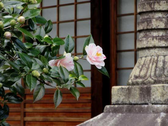 地蔵院 五色散りツバキ_e0048413_17332661.jpg