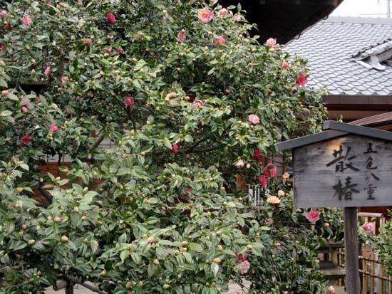 地蔵院 五色散りツバキ_e0048413_17333310.jpg