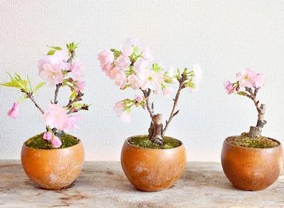桜 開花_d0263815_17465172.jpg