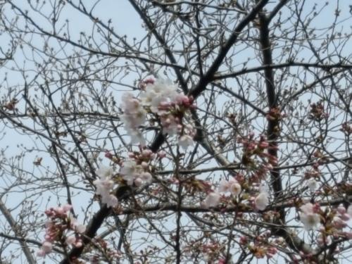 桜が咲きだすとクレージーになるのよ 映画「アシュラ」&「落語研究会」&トム・ウエイツ_e0016828_11301329.jpg