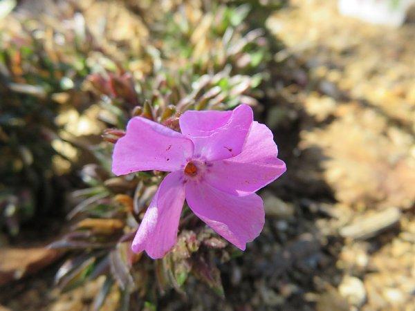2017年3月30日 シバザクラの花が咲きました !_b0341140_2022683.jpg