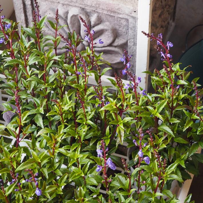 寄せ植え向きのお花が入荷②_a0292194_15581497.jpg