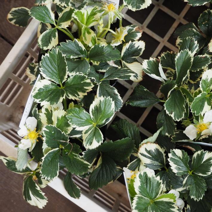 寄せ植え向きのお花が入荷②_a0292194_1723663.jpg