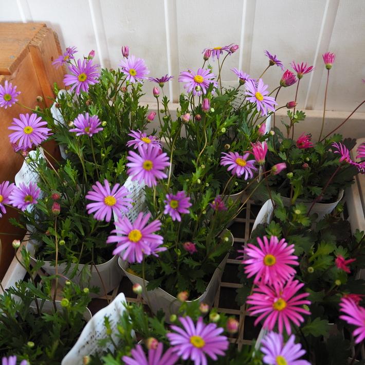 寄せ植え向きのお花が入荷②_a0292194_1964031.jpg