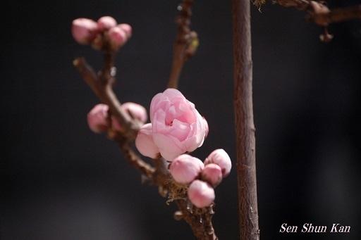 花桃が咲き始めました  2017年3月30日_a0164068_16021231.jpg