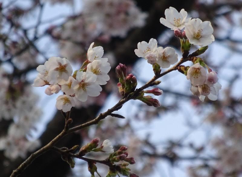 やっと桜が咲き始めました。_f0059673_19181580.jpg