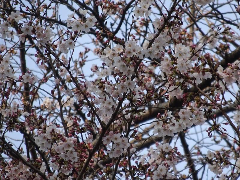 やっと桜が咲き始めました。_f0059673_19183493.jpg