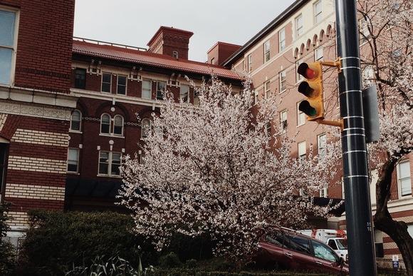 バンクーバーでも桜が開き始めました_d0129786_157658.jpg