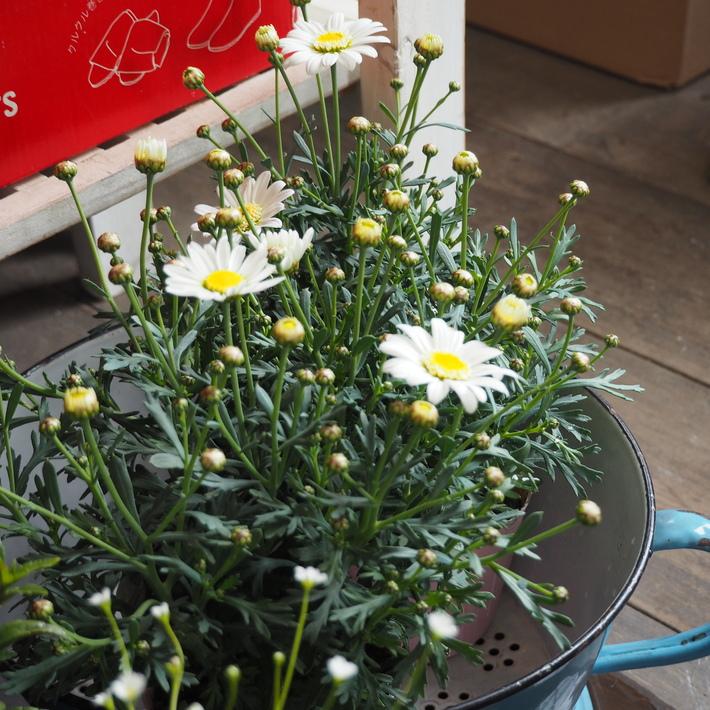 寄せ植え向きのお花が入荷②_a0292194_1632339.jpg