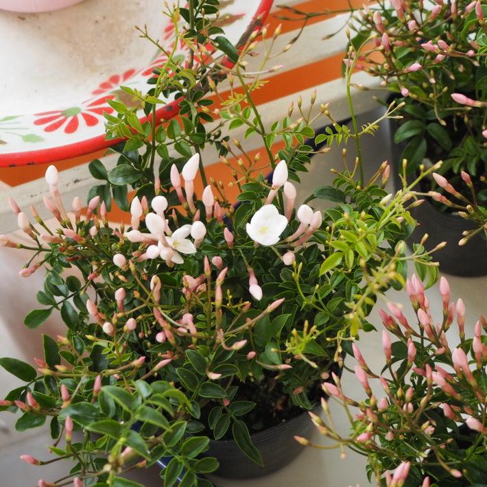 寄せ植え向きのお花が入荷②_a0292194_169445.jpg