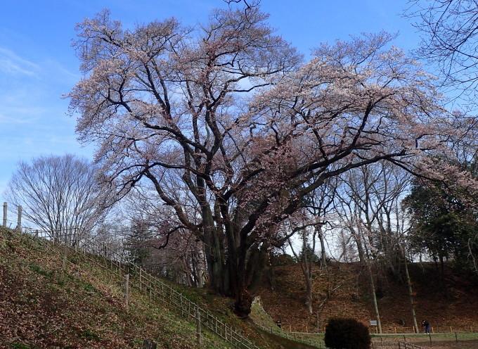 埼玉北部                      エドヒガンカタクリ2017/03/29①_d0251807_09552309.jpg
