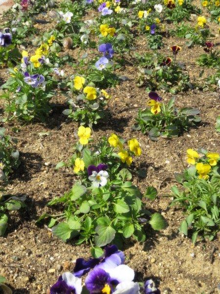 2017年3月31日 パンジー・ビオラの花咲く西側花壇 !_b0341140_16554285.jpg