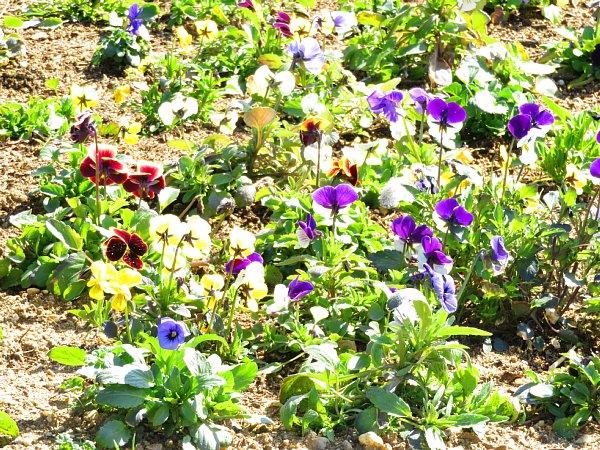 2017年3月31日 パンジー・ビオラの花咲く西側花壇 !_b0341140_16561130.jpg