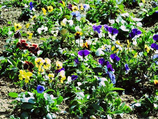 2017年3月31日 パンジー・ビオラの花咲く西側花壇 !_b0341140_16562231.jpg