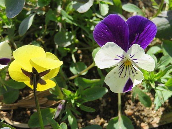 2017年3月31日 パンジー・ビオラの花咲く西側花壇 !_b0341140_16571349.jpg