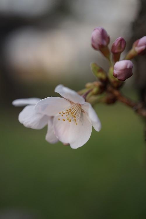 桜パトロール_a0292060_23034104.jpg