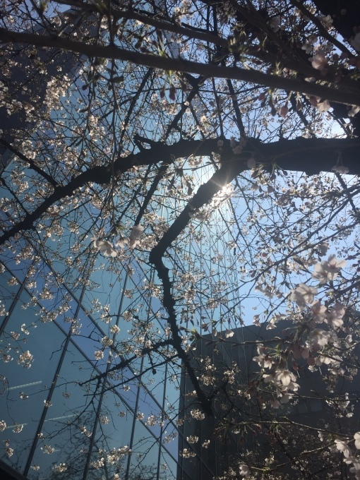 桜が咲いた!_b0093660_16485325.jpg