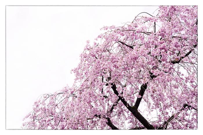 桜_d0111087_04373730.jpg