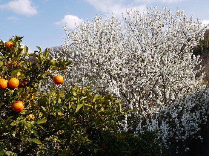 白梅咲く里山の風景_b0093754_23221490.jpg