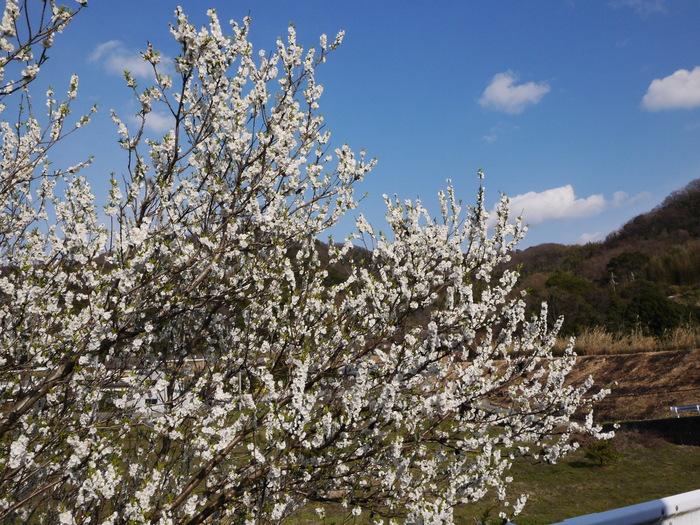 白梅咲く里山の風景_b0093754_23222740.jpg