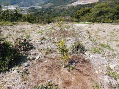 山鹿のみかん 社方園 山を開いて新たなみかんの果樹を植える!夢を追う匠の話!(その2)_a0254656_17073314.jpg
