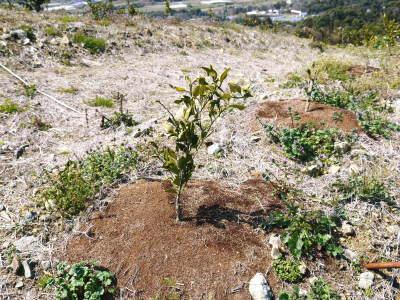 山鹿のみかん 社方園 山を開いて新たなみかんの果樹を植える!夢を追う匠の話!(その2)_a0254656_18200475.jpg
