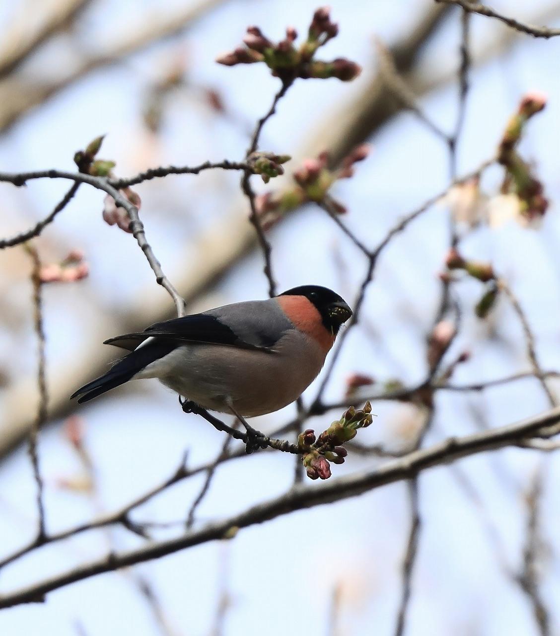 桜の花大好き_f0296999_14511437.jpg