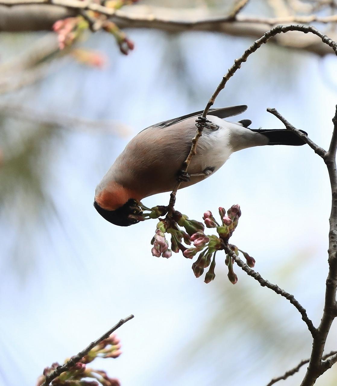 桜の花大好き_f0296999_14515432.jpg