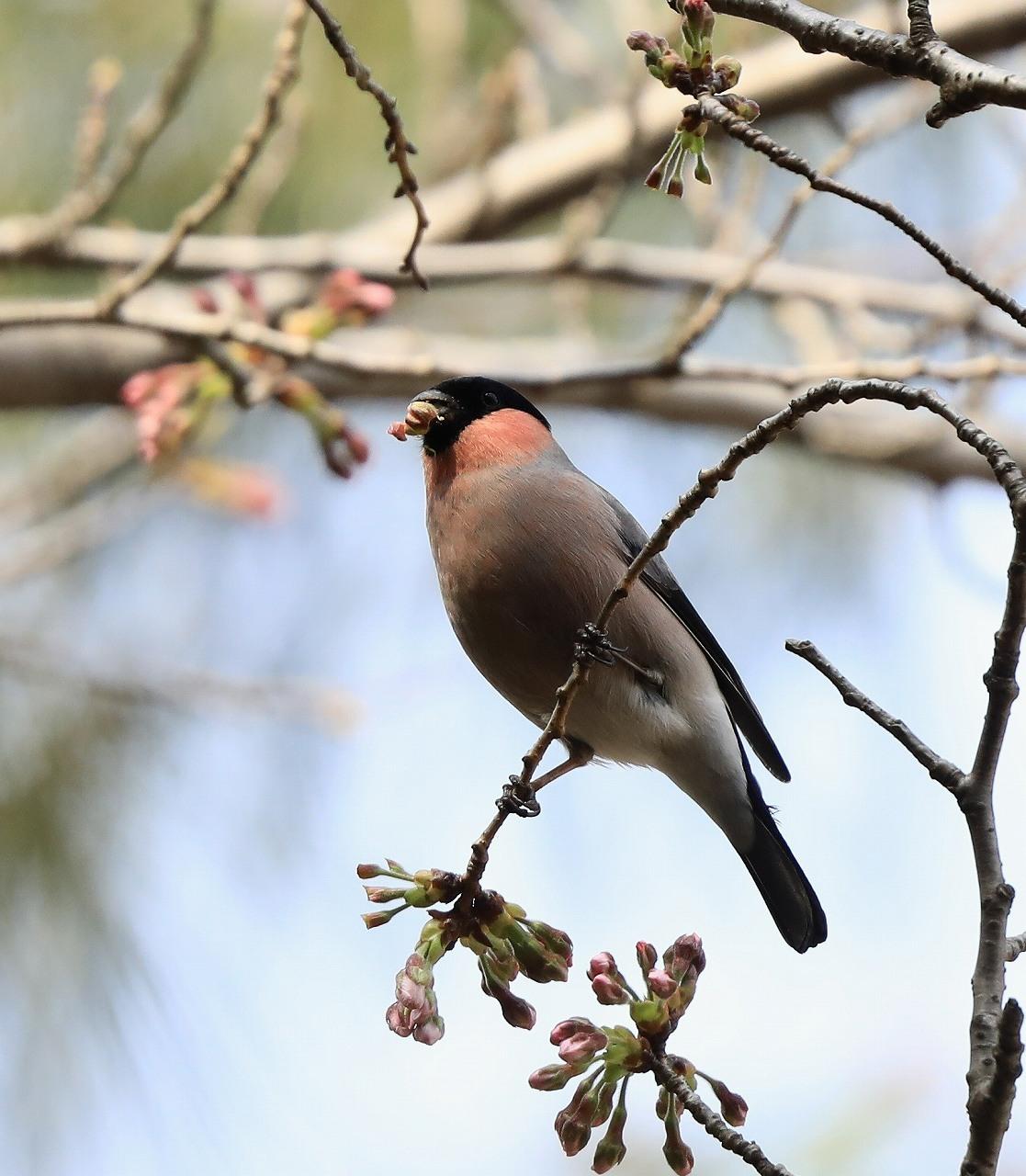 桜の花大好き_f0296999_14520384.jpg
