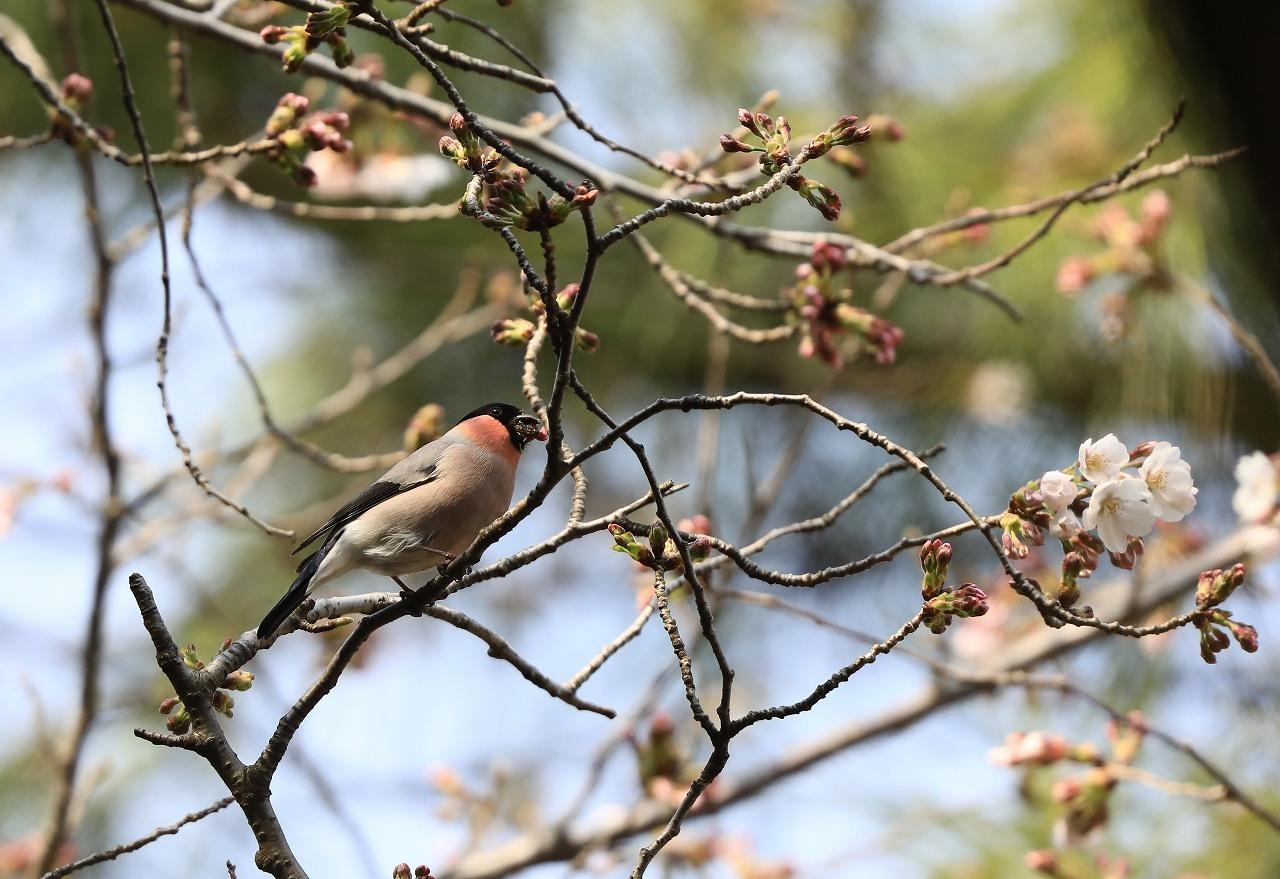 桜の花大好き_f0296999_14521877.jpg