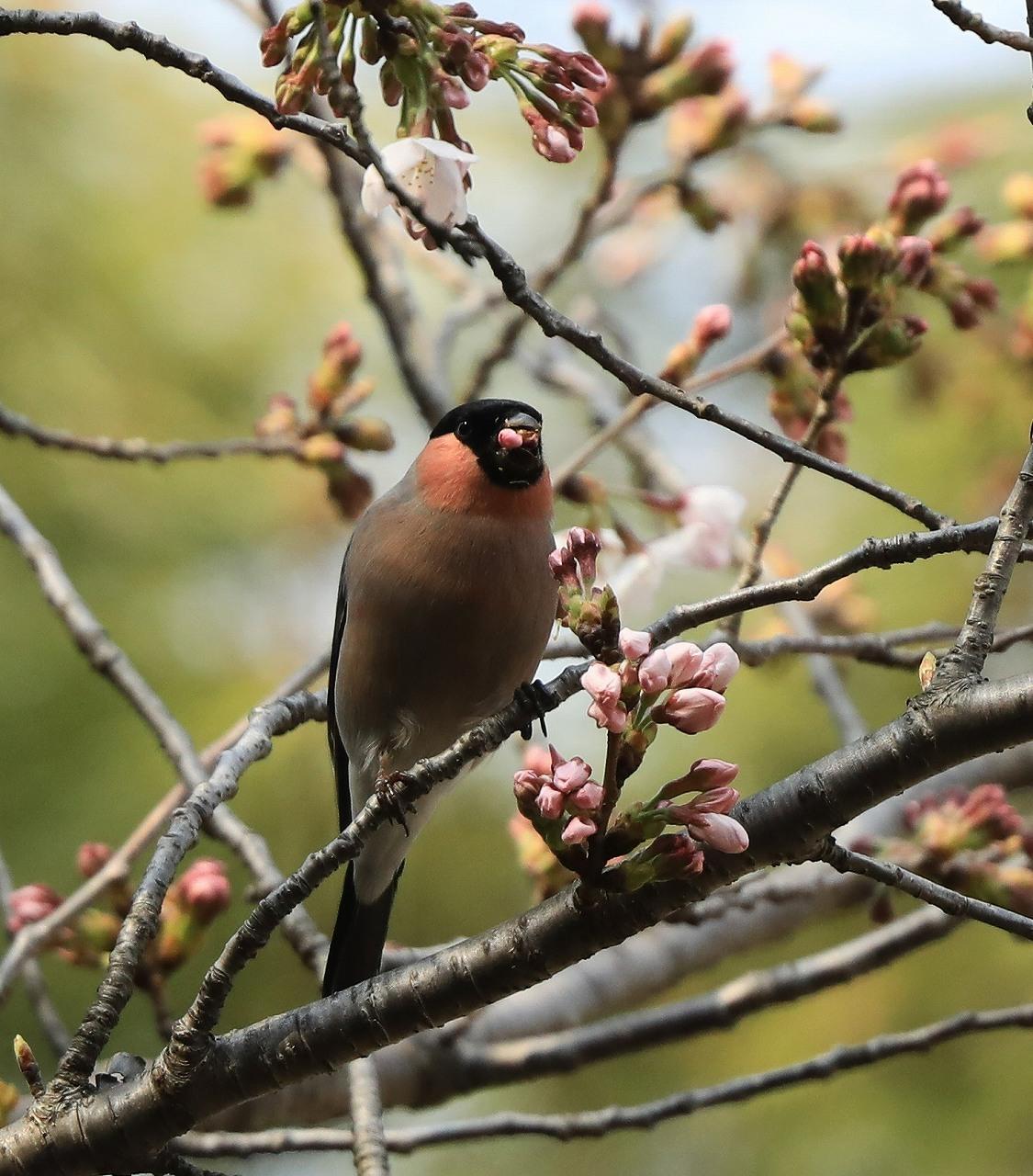 桜の花大好き_f0296999_14522695.jpg