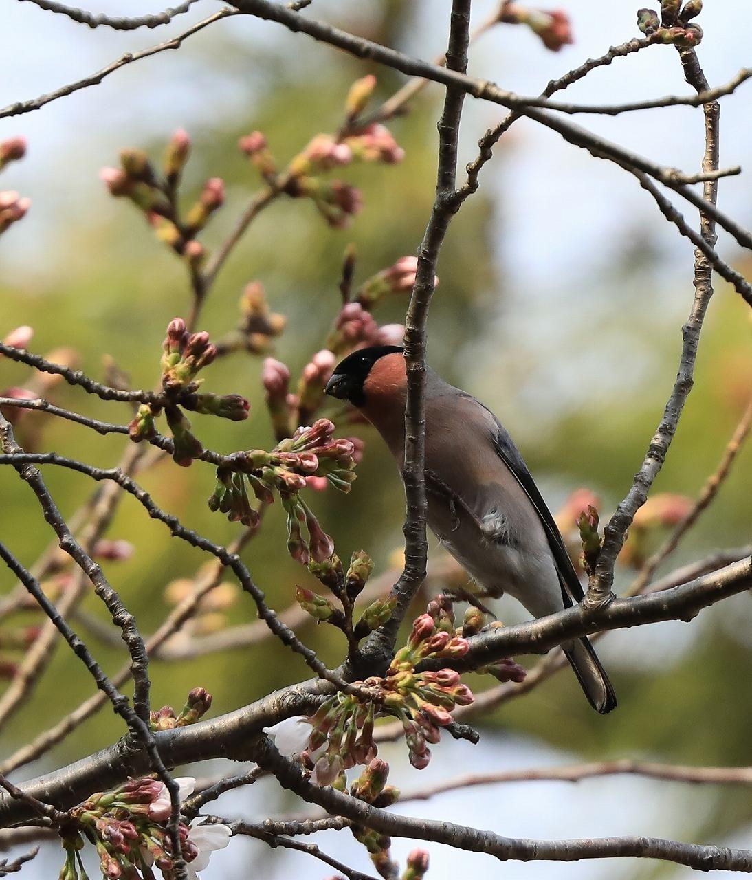桜の花大好き_f0296999_14523841.jpg