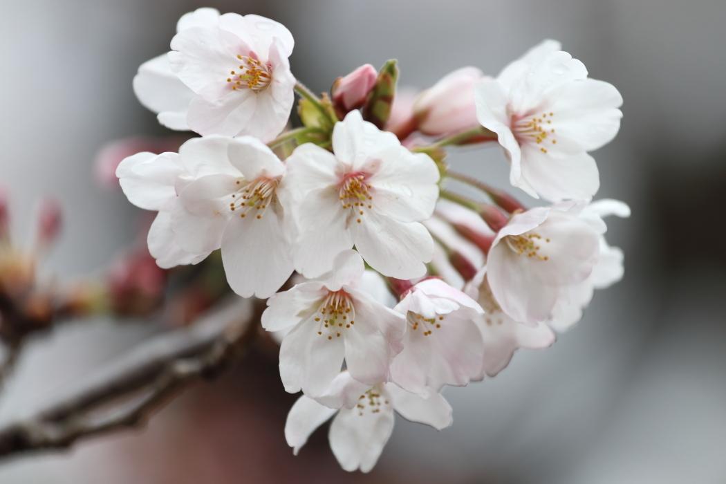 2017桜スタート_b0190710_00075889.jpg