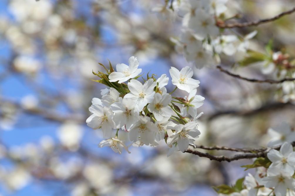 桜晴れの週末_b0190710_19351456.jpg