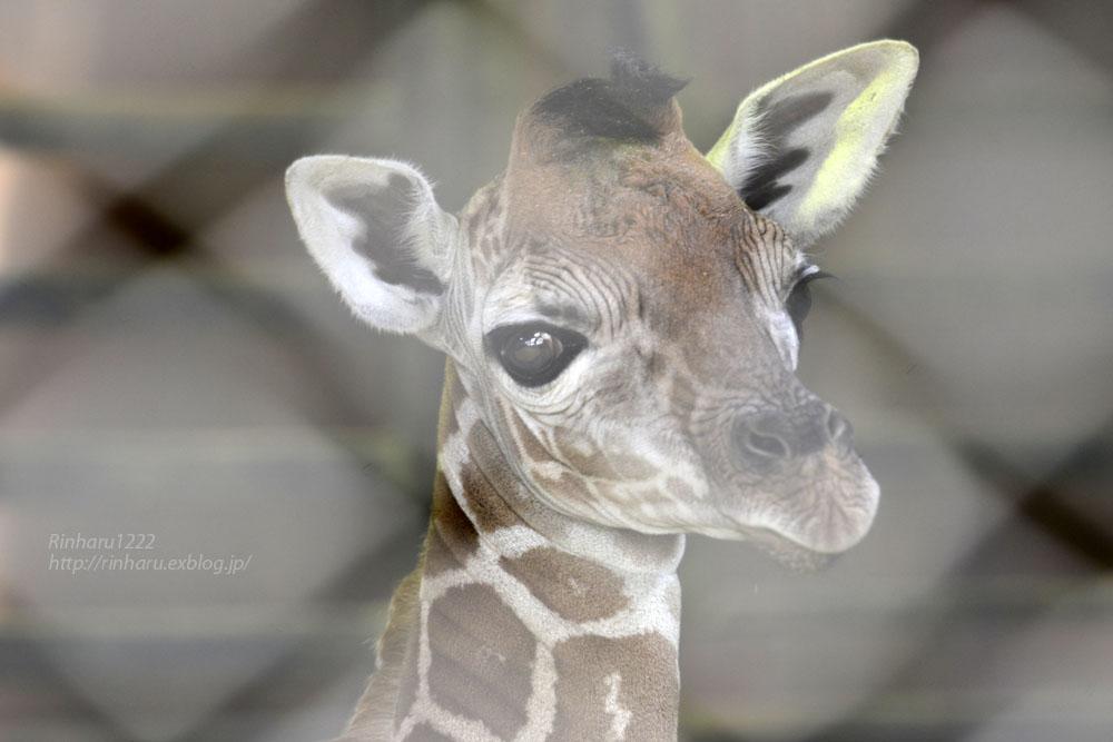 2017.4.2 宇都宮動物園☆キリンの赤ちゃん【Giraffe baby】_f0250322_2154253.jpg