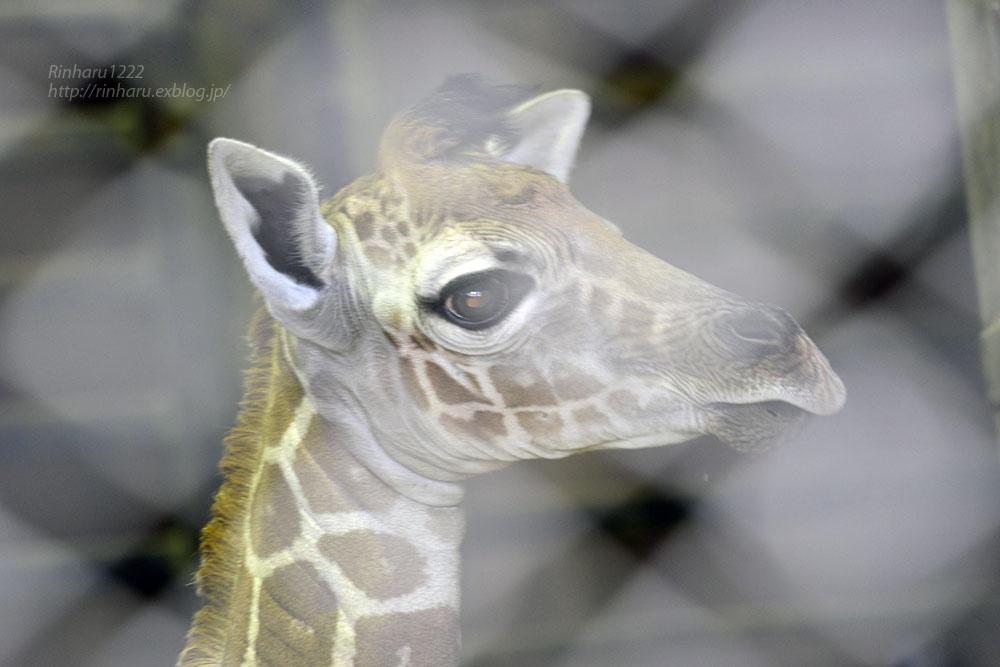2017.4.2 宇都宮動物園☆キリンの赤ちゃん【Giraffe baby】_f0250322_2154644.jpg