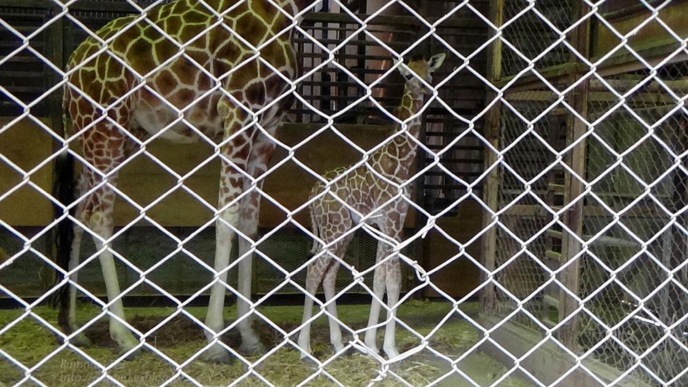 2017.4.2 宇都宮動物園☆キリンの赤ちゃん【Giraffe baby】_f0250322_215519.jpg
