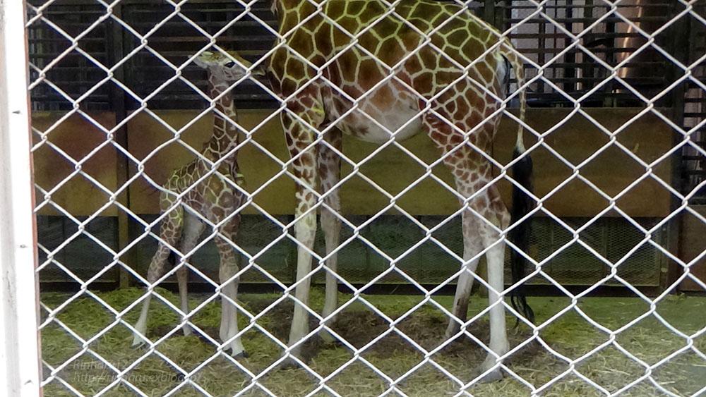 2017.4.2 宇都宮動物園☆キリンの赤ちゃん【Giraffe baby】_f0250322_2155521.jpg