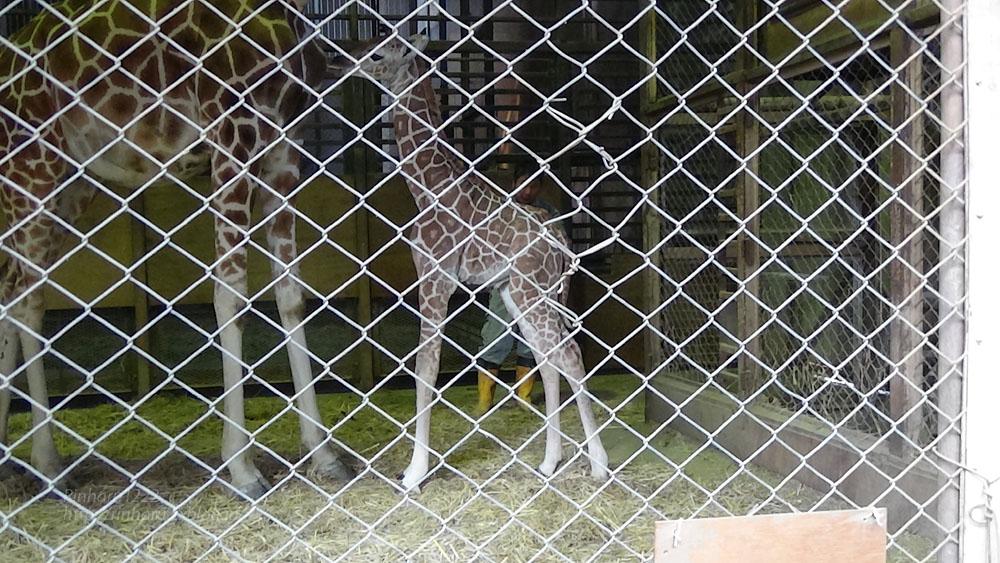 2017.4.2 宇都宮動物園☆キリンの赤ちゃん【Giraffe baby】_f0250322_2155949.jpg