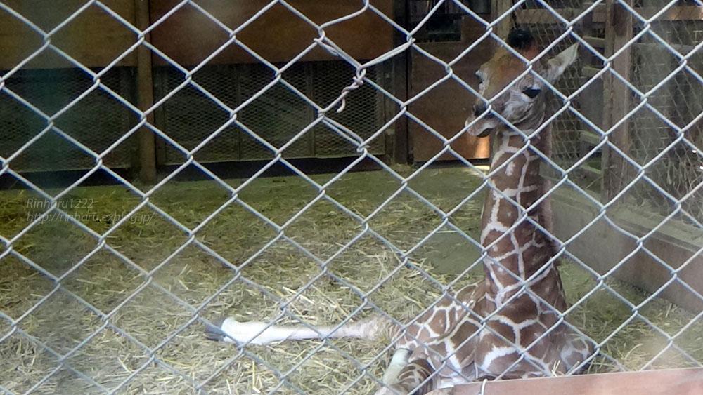 2017.4.2 宇都宮動物園☆キリンの赤ちゃん【Giraffe baby】_f0250322_216659.jpg