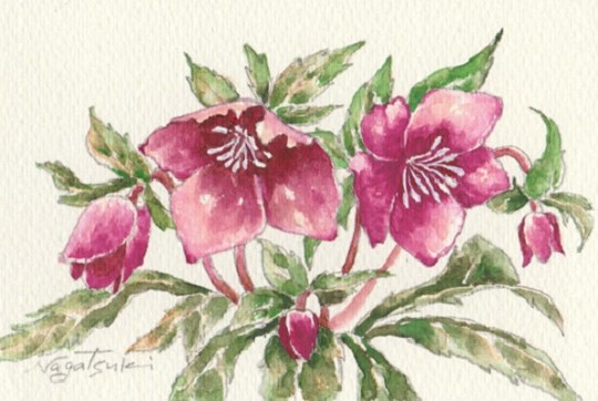 花の水彩画あれこれ。_b0089338_19555695.jpg